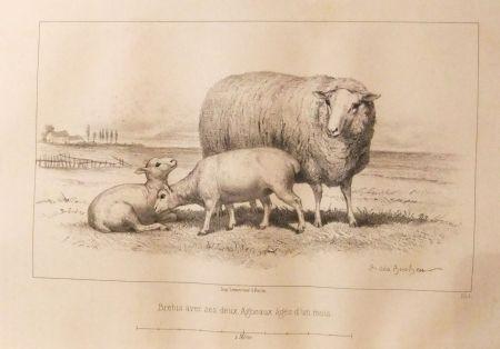 Иллюстрированная Книга Bonheur - Considérations sur les bêtes à laine au milieu de XIXe siècle, et notice sur la race de la charmoise