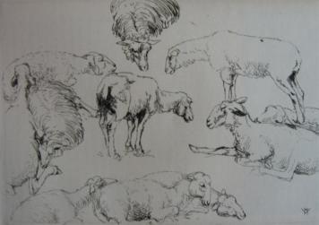 Гравюра Vergé-Sarrat - Etudes de moutons / Studies of Sheep