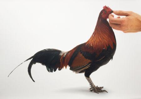 Многоэкземплярное Произведение Vanmechelen - Feeding Chicken