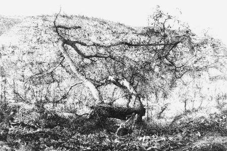 Офорт Barbisan - Il castagno morto