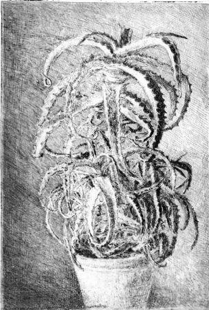 Офорт Barbisan - Pianta grassa